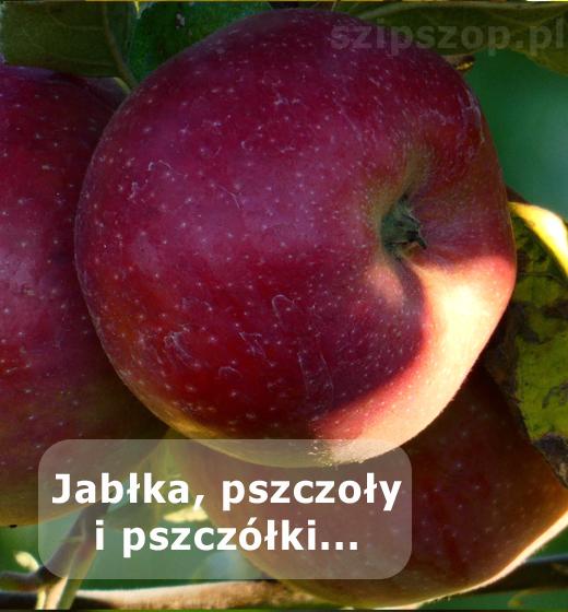śliczne jesienne jabłka