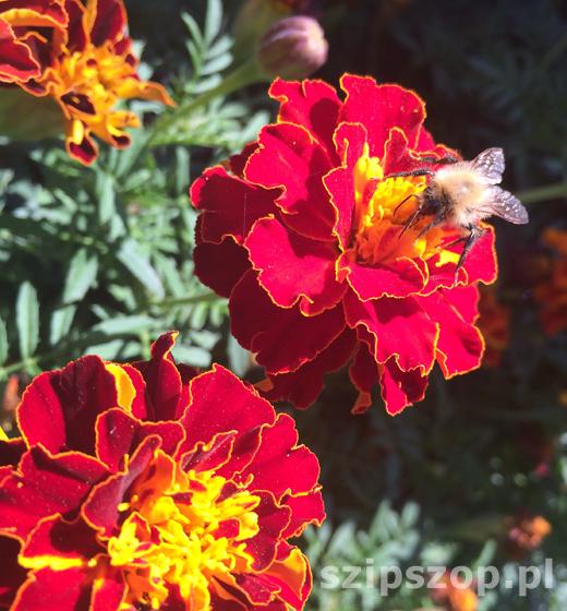 pracowity jak pszczoła